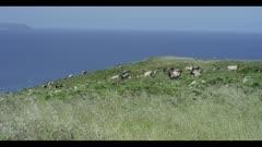 Tule elk heard resting on a hill, Pacific Ocean background