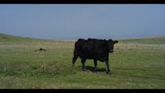 Beef cow walks left to right over green grass and out of frame