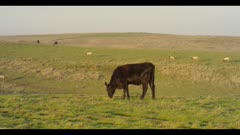 Cow feeding on grass moves forward, tule elk in background