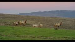 Tule elk tap antlers, other elk watch, great audio