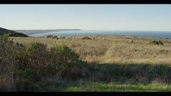 Tule elk cows in distant field grazing, ocean background