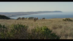 Tule elk cows grazing in field, ocean background, early morning