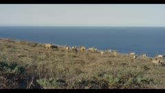 Tule elk herd walks up hillside, ocean background