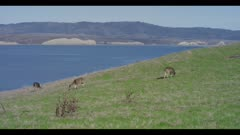 Mule deer grazing on grassy hillside