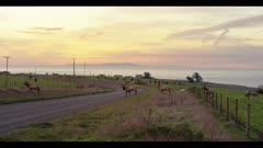 Tule elk jump fence at sunrise, Point Reyes National Seashore