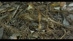 Scorpion in redwood forest circles, adjust claws, retracts claws