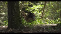 Turkey walks in full feather display, cautiously