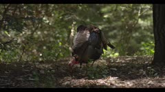 Turkey in full display lowers feathers and begins foraging