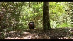 Turkey in display, struts in forest