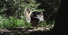 Turkey in full display, drags wings on ground, stops