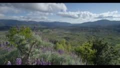 Yosemite upland habitat, purple lupine flowers