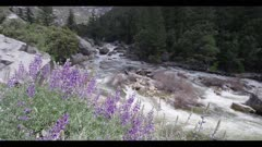 Merced River, purple lupine flowers in foreground, pan right