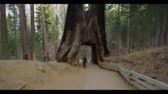 Hiker on trail walks through redwood tree tunnel, Yosemite