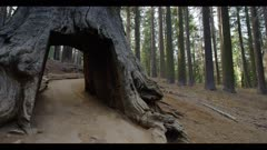 Open forest pan left to open sequoia tree tunnel