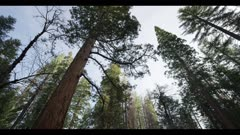 Sequoia redwood tree top and other conifers, old growth trees