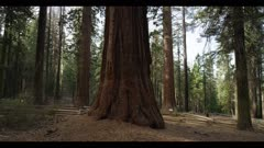 Sequoia redwood forest grove, old growth trees, 4 massive trees, hiker walks by