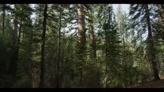 Sequoia redwood tree, slow tilt upward, old growth tree