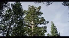 Sequoia redwood tree, tilt upward, old growth tree