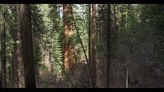 Sequoia redwood tree in dense forest, tilt upward