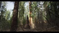Sequoia redwood tree, hikers along trail, huge old growth tree