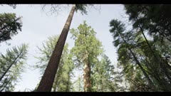 Sequoia redwood tree, old growth tree in dense forest