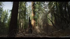 Hikers at base of old growth sequoia tree, tilt upward