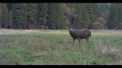 Mule deer, large male with antlers feeding, looks up at dusk