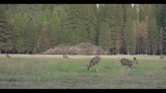 Mule deer females feed in huge meadow