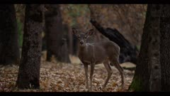 Mule deer female walks over leafy forest, dawn