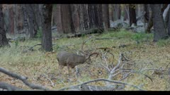 Mule deer buck with large antlers feeds near fallen tree in forest