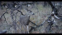 Mule deer buck, small antlers, feeds on acorns, looks at lens