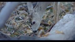 Mule deer, young buck finds acorns between leaves