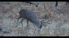 Mule deer buck searches for acorns in dry field