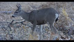 Mule deer buck, tiny antlers, eats acorns, turns and looks at lens