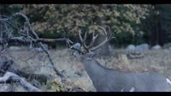 Mule deer feeds, rubs antlers on tree branch