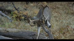 Mule deer feeds and scratches his head on tree branch