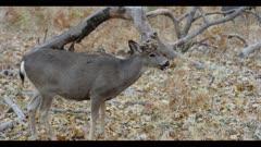 Mule deer feeding on acorns, deformed antlers, crown of horms