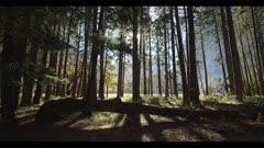 Conifer grove looking outward to sunbeams, pan left