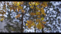 Oak tree leaves, bright yellow, pan right