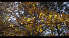 Oak leaves in fall, bright yellow, pan right across branch