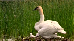 Trumpeter Swan Nest