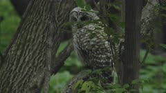 Barred Owl Perched In Tree Observing