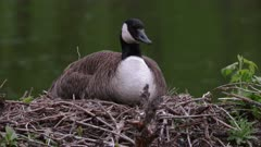 Canada Goose Sitting On Nest