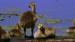 Canada Geese Goslings Rest