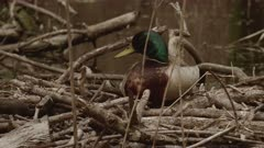 Wood Duck Pair Feed & Vocalize In Wetland