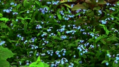 Forget-Me-Not Wild Flower