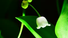 Lily-Of-The-Valley Flower