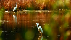 Great White Egrets At Dusk In Wetland