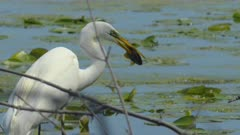 Great White Egret Clenches Prey After Capture