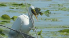 Great White Egret Devours Captured Prey